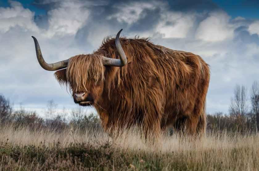 bull-landscape-nature-mammal-144234.jpeg