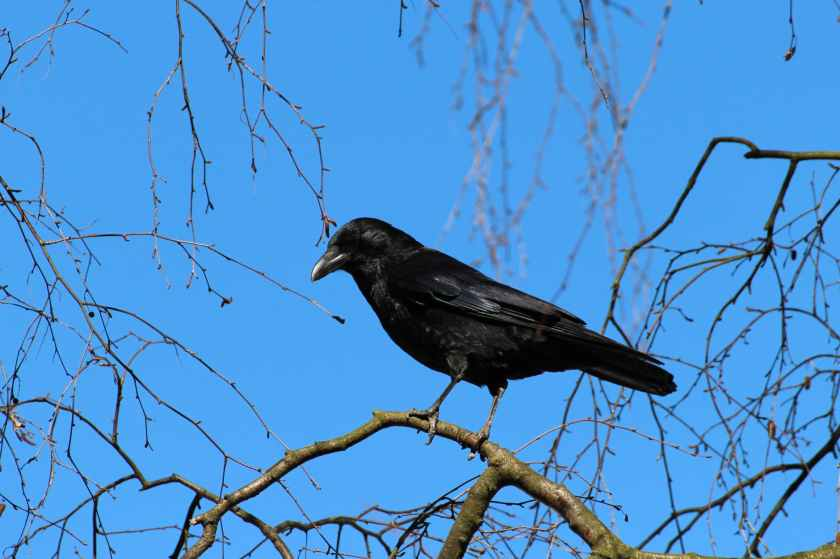 crow-corvus-frugilegus-rook-raven-bird-59850.jpeg