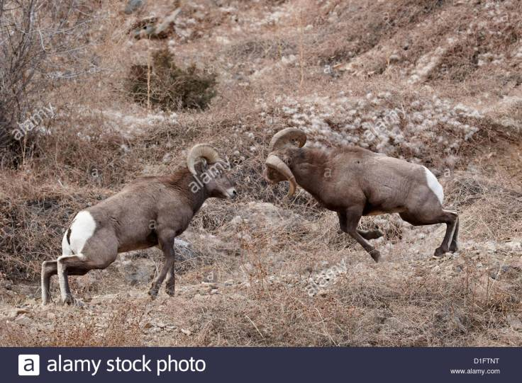 two-bighorn-sheep-ovis-canadensis-rams-butting-heads-during-the-rut-D1FTNT